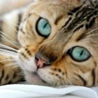faits sur les chats