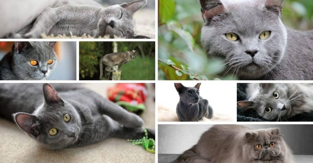8 races de chats à pelage gris bleu