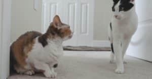 Comment gérer l'agressivité de vos chats entre eux