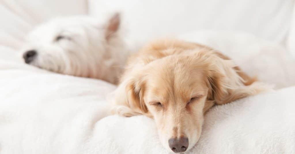 Le sommeil du chien