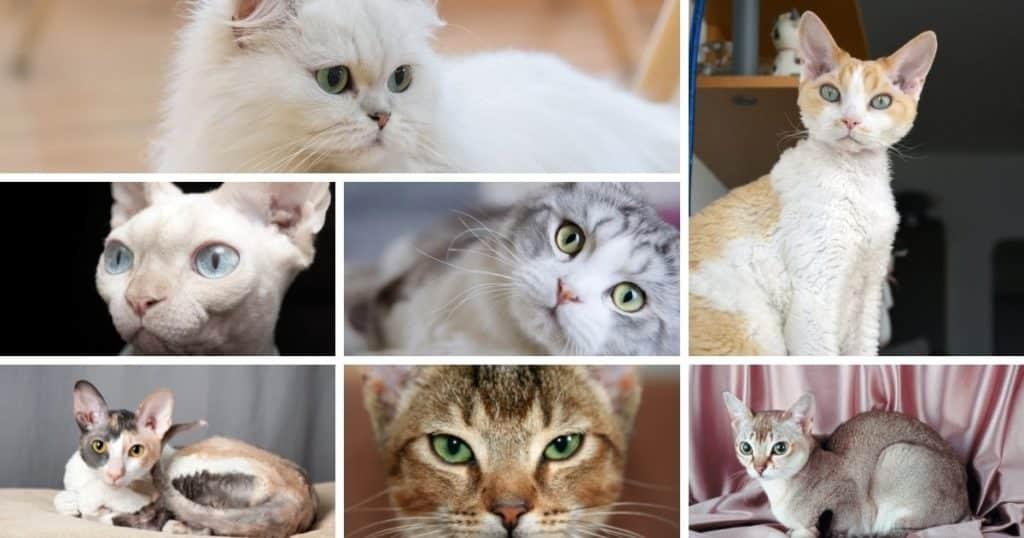 7 races de chats avec de grands yeux